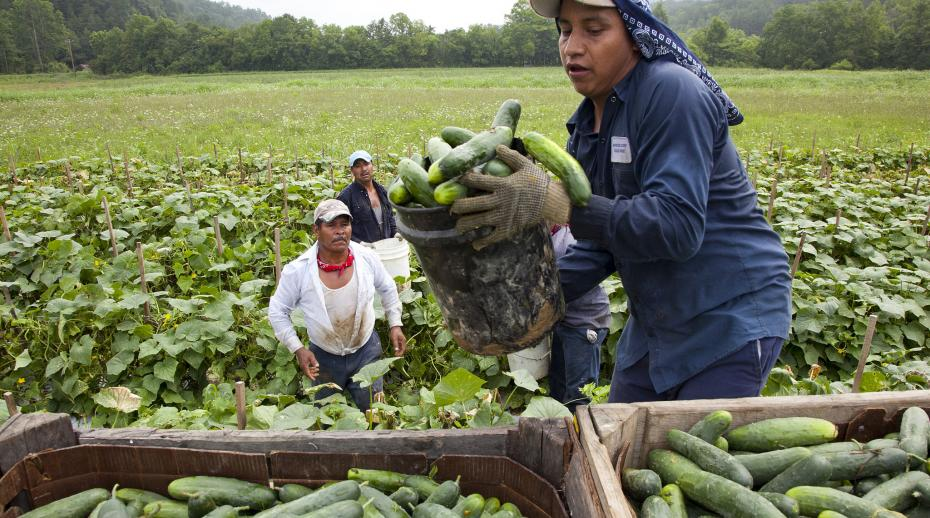 Migrant workers load cucumbers into a truck in Virginia, USA